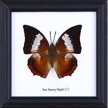 The Tawny Rajah Butterfly (Charaxes bernardus) | Schmetterlinge Entomologie Taxidermie Innendekoration | 12 x 12 cm