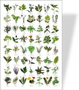 buzz garden herbs poster-56erbe immagini
