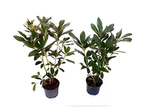 10 Rhododendron Cunningham's White, Höhe: 40-50 cm ab Topf, Alpenrose weiß, Hecke
