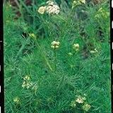 Suffolk Herbs Bildhaftes Paket Kümmel Carum carvi