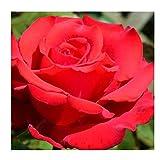 gardenexpert Rosa My Valentine Buschrose