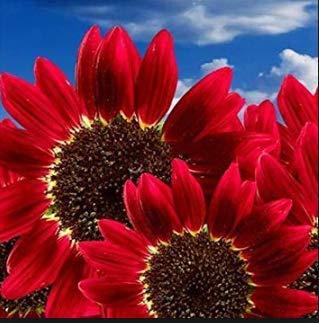 Risitar Graines - 50pcs Rare Tournesol à fleur simple Magic Roundabout mix F1, Fleurs à semer pour massifs Graines de fleurs Plantes vivaces résistante au froid