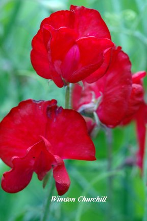 premier-seeds-direct-swp49f-sweet-pea-winston-churchill-finest-seeds-pack-of-40