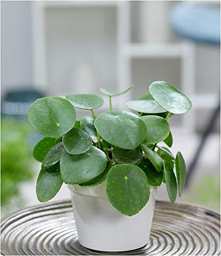BALDUR-Garten Pfannkuchenpflanze, 1 Pflanze Chinesischer Geldbaum Pilea peperomiodes