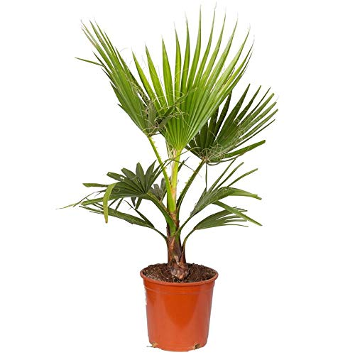 Pflanzen Kölle Mexikanische Washington-Palme Washingtonia Robusta, Topf 21 cm, Höhe 85 cm