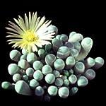 Fenestraria aurantiaca semi
