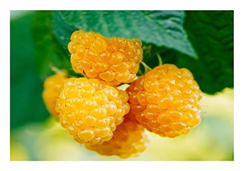 "Gelbe Himbeere 2 Töpfe (Rubus idaeus 'Golden Everest')""die Vitaminbombe"""