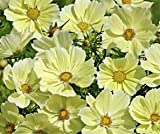 Bobby-Seeds Blumensamen Cosmee Xanthos Portion