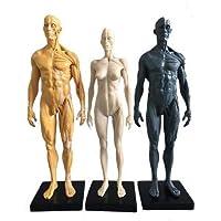 Aprodite 30cm PU Human Skeleton Anatomical Model Anatomy Skull Sculpture Body Muscle Yellow