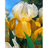 Iris germanica White and Yellow / Iris germanica Blanco y amarillo - bulbo / tubérculo / raíz