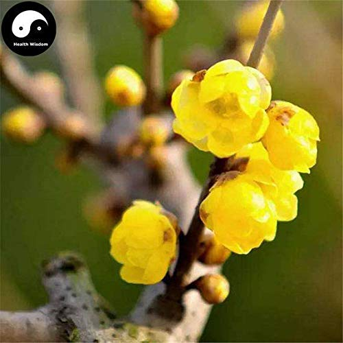 PLAT FIRM KEIM SEEDS: 30pcs: Kaufen Winter Süße ume Baumsamen Pflanze Gelb Plum Blossom La Mei