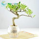 Pinkdose 100pcs Tasche Banyan Tree Bonsai Ficus Ginseng Bonsai chinesischen Seltene Chinesische Feige-Baum-Grün Bonsai DIY Hausgarten: Violett