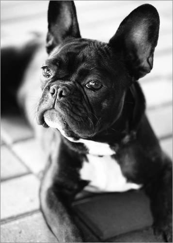 Posterlounge Cuadro de Aluminio 13 x 18 cm: French Bulldog de Falko Follert