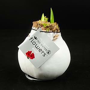 1x amaryllis xxl gewachst weiss zimmerpflanzen for Ausgefallene zimmerpflanzen