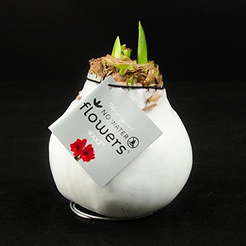 1x Amaryllis XL gewachst (WEISS), Zimmerpflanzen, Zwiebeln, besonders ausgefallene Geschenkidee, Amaryllis Hippeastrum, weiß, Dekoration für Wohnung und Büro, blühende Pflanze
