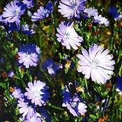 Bachblüten Original Chicory 20 ml (20 ML)