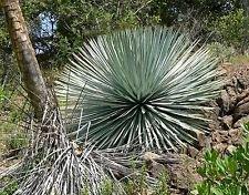 Yucca Whipplei Unseres Herrn Kerze 15 SEEDS