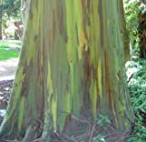 Rainbow Eucalyptus Seeds (Eucalyptus deglupta) 10+ Rare Seeds + FREE Bonus 6 Variety Seed Pack - a $29.95 Value! Packed in FROZEN SEED CAPSULES for Growing Seeds Now or Saving Seeds For Years