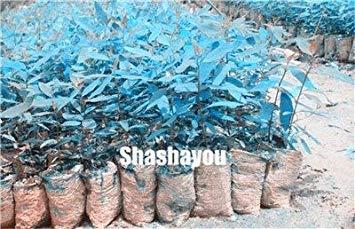 vonly Heißer Bule Eukalyptusbaum Bonsaipflanzen, 50 PC Zier-Baum Exotische Natur Wachstum Hausgarten Ornament: 8