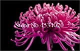 AGROBITS 100 piezas del crisantemo planta de Bonsai Bonsai flor del aster Flor Seedsplants crisantemo del arco iris perenne de flores a domicilio jardín: 1