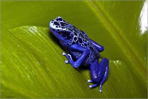impresion-en-madera-130-x-90-cm-blue-poison-dart-frog-de-adam-jones-danita-delimont