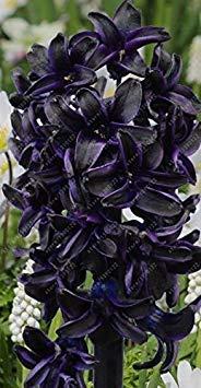VISTARIC Echte Tulpenzwiebeln, Vielfalt Frische Zwiebeln Tulpen, Blumenzwiebeln hochwertige Bulbous Wurzel zu Hause Gartenpflanze (nicht Seeds Tulip) – 2 Stück 1