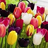 Mixed Triumph Tulip Bulbs - Spring Flowering - Packs of 50 & 100 Available - Free P & P (50)