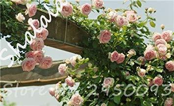 Homely Jardin Serre Graines D'escalade Roses Graines Aérobie En Plein Air En Pot Rare Rosas Graines De Semis De Mariage Décoration 10 Pcs/Sac 20