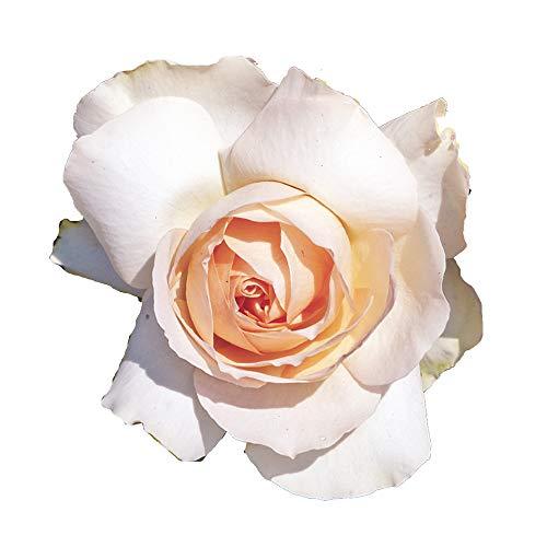 Sans Souci, rosaio vivo Rose Barni, rosa color crema rosato, pianta vigorosa a ricco fogliame, adatta alla coltivazione in vaso, aiuole e bordure, resistente ai parassiti. Rosa rifiorente cod.72090