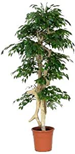 Ficus Mini Artificiale - Tronco Vero - Japan - H.185 cm