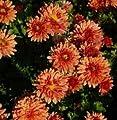 Winteraster Bronzekrone - Chrysanthemum hortorum von Baumschule auf Du und dein Garten