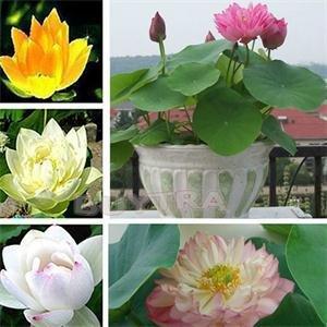 Lotus Blume, Samen (30 Stück Lotus Flower bringen Sie Lotus-Blume / Lotus-Samen / Wasser-Garten-Anlagen zur Pflanze)