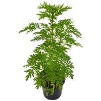 Artemisia Annua 10cm, Ajenjo Dulce o Ajenjo Chino en Maceta Pequeña