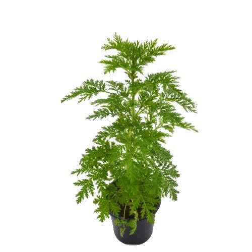 Artemisia Annua Natural