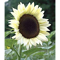Shopmeeko 40 Stück Riesen Sonnenblume Pflanze Blume Pflanzen Seltene Bonsai Topfpflanzen Bonsai Russische Sonnenblume Pflanzen für Hausgarten Semillas: klar