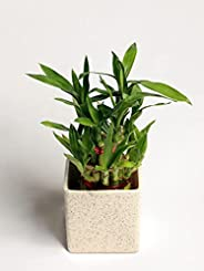 Nurturing Green Lucky Bamboo Plant (Small : 2 Layer Bamboo; Marble Finish Ceramic Pot)