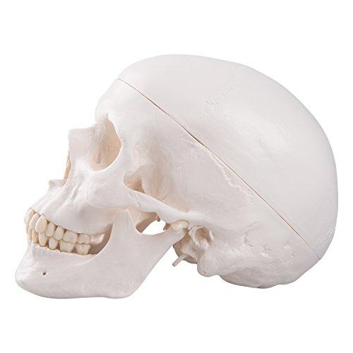 Zoom IMG-2 3b scientific a20 cranio modello