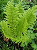 Wurmfarn - Dryopteris filix-mas - Farn von Native Plants