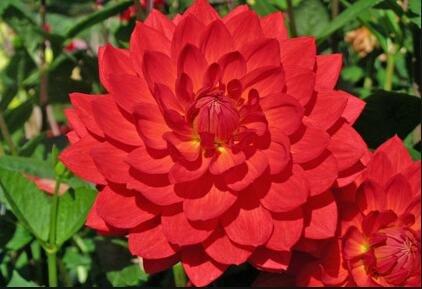 Couleurs mélangées rares Dahlia Graines Graines Fleurs vivaces Belles Dahlia pour le bricolage jardin 100 PCS / Sac 11