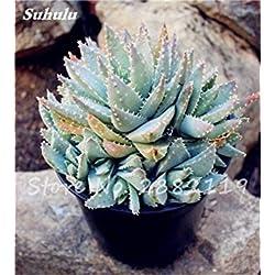 Fash Lady 19: 50 Stücke Aloe Vera Samen Schönheit Essbare Kosmetische Bonsai Bunte Kaktus Sukkulenten Blume Pflanzen Gemüse Obst Samen Für Balkon 19