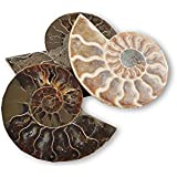 Polished Ammonite Fossil 110 million years old! Stocking Filler / Birthday Gift - Free Postage!