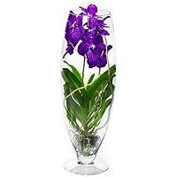 FloraStore - Vanda Champagner (kleur: Blauw) (1x), Höhe 70 CM, Topf 24 CM, Zimmerpflanze