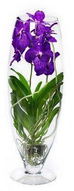 FloraStore - Vanda Champagner (kleur: Blauw) (1x), Höhe 70 CM, Topf 24 CM, Zimmerpflanze -