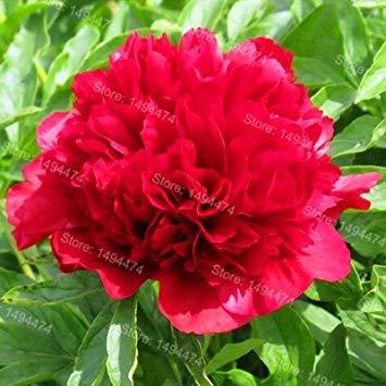 Vistaric 10pcs / sac mixte couleur pivoine graines Chinois Rose graines Arbre Pivoine Graines belle Décoration bonsaï fleur plante pour la maison jardin 6