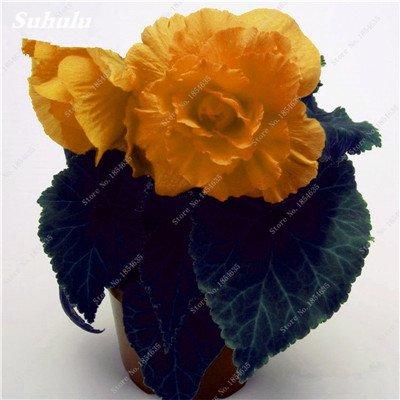 Nouveau! 150 Pcs Begonia Graines Bonsai Graines de fleurs Bonsai Maison & Jardin Flor Plantes en pot Purifier l'Office Air Bureau Fleurs 14