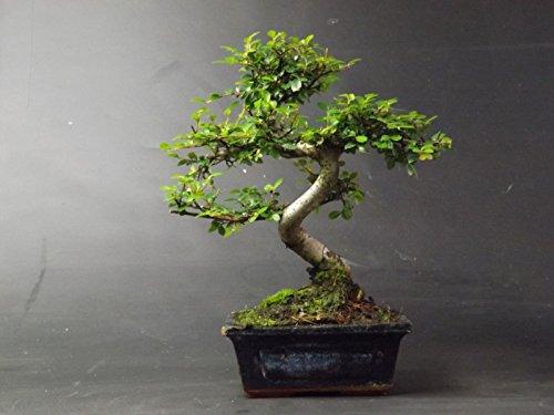 Bonsai Elm parvifolia S Style 7 ...