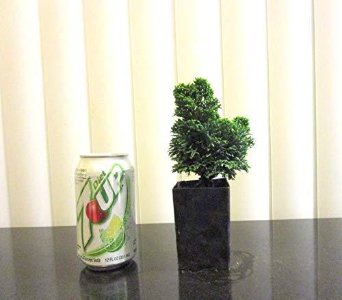 Generic Seeds: Green hinoki for mame shohin Bonsai Seed