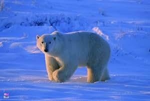 Veloflex 4651027 Sous-main Motif ours polaire 40 x 60 cm (Import Allemagne)