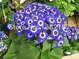 2016 autentici semi Clivia semi caldo del commercio all'ingrosso di fiori piante rare, 500pcs