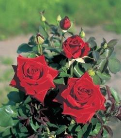 Duftrose 'Duftzauber' -R- im 4 L Container von Rosen-Union eG. bei Du und dein Garten